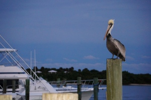 Pelican @ Tiki 52